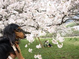 ルンと桜b.jpg