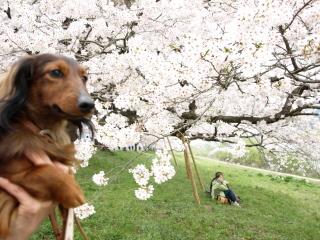 エイトと桜b.jpg