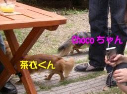チョコちゃん茶衣くんしっぽB.jpg