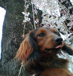 エイトと桜.jpg