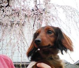エイトと桜2.jpg