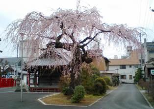 大きな桜の木.jpg